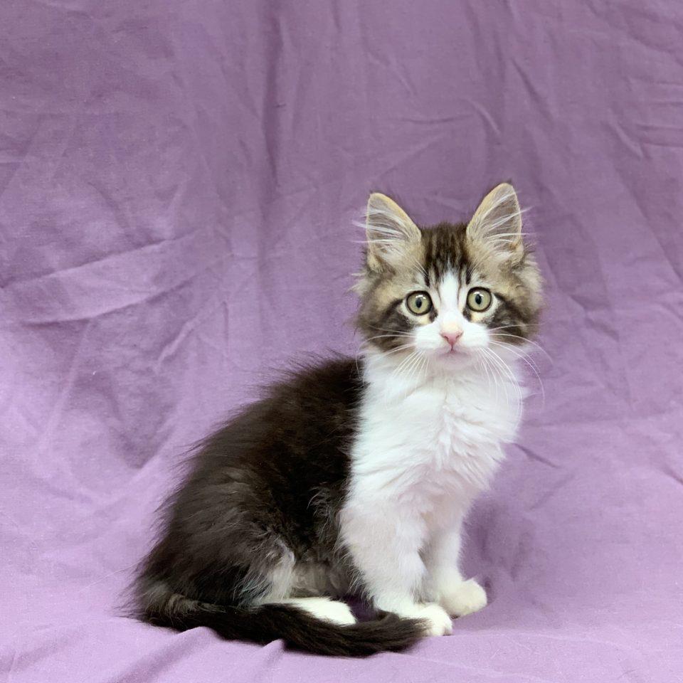 Sami chaton croisé maine coon sacré de birmanie brown tabby et blanc mâle à vendre Paris