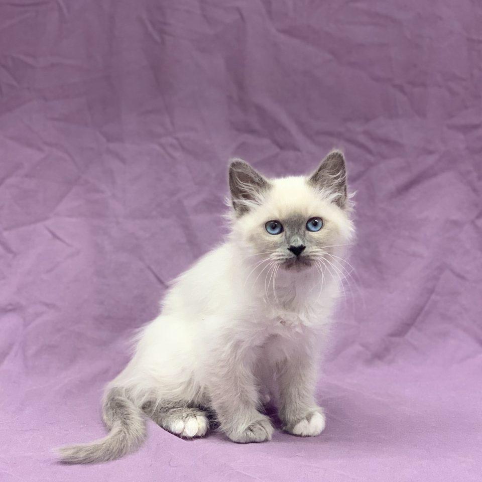 Sucrette chaton femelle sacré de Birmanie blue point à vendre Paris