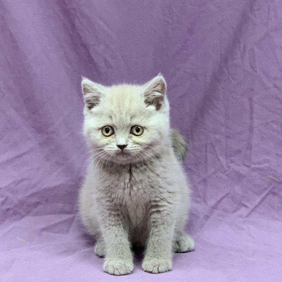 Sandro chaton british shorthair mâle lilas à vendre Paris