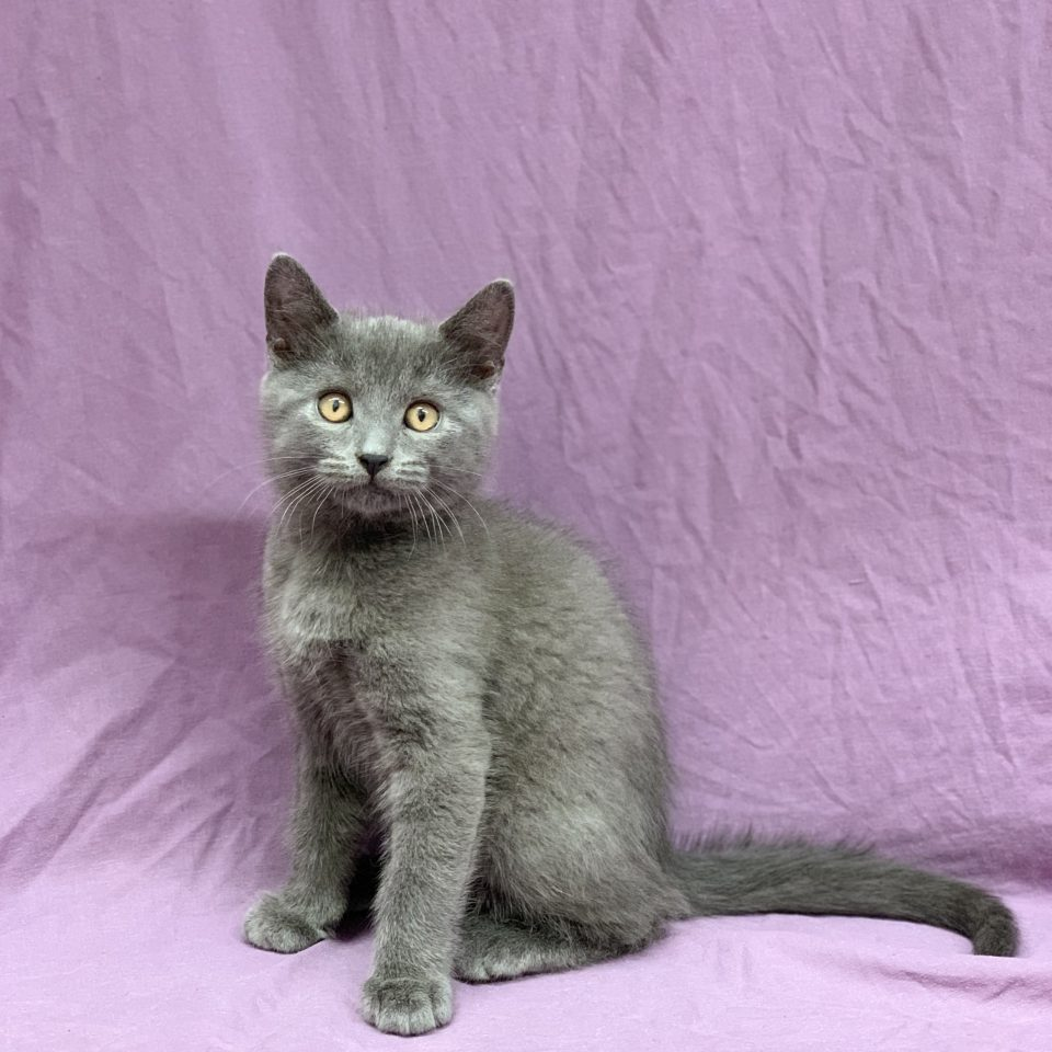 Saul chartreux chaton mâle bleu à vendre Paris