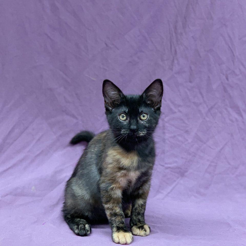 Soraya chaton européen femelle black tortie à vendre Paris