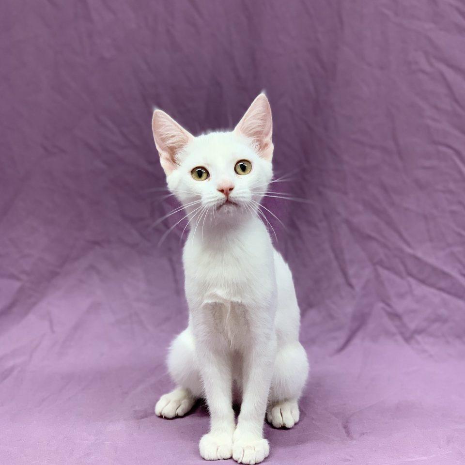 Sylka chaton européen femelle blanc à vendre Paris