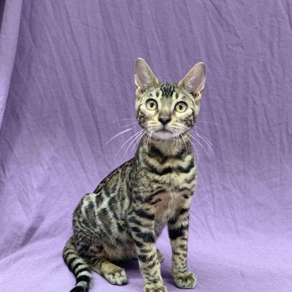 Sultant chaton bengal brown tabby mâle à vendre Paris