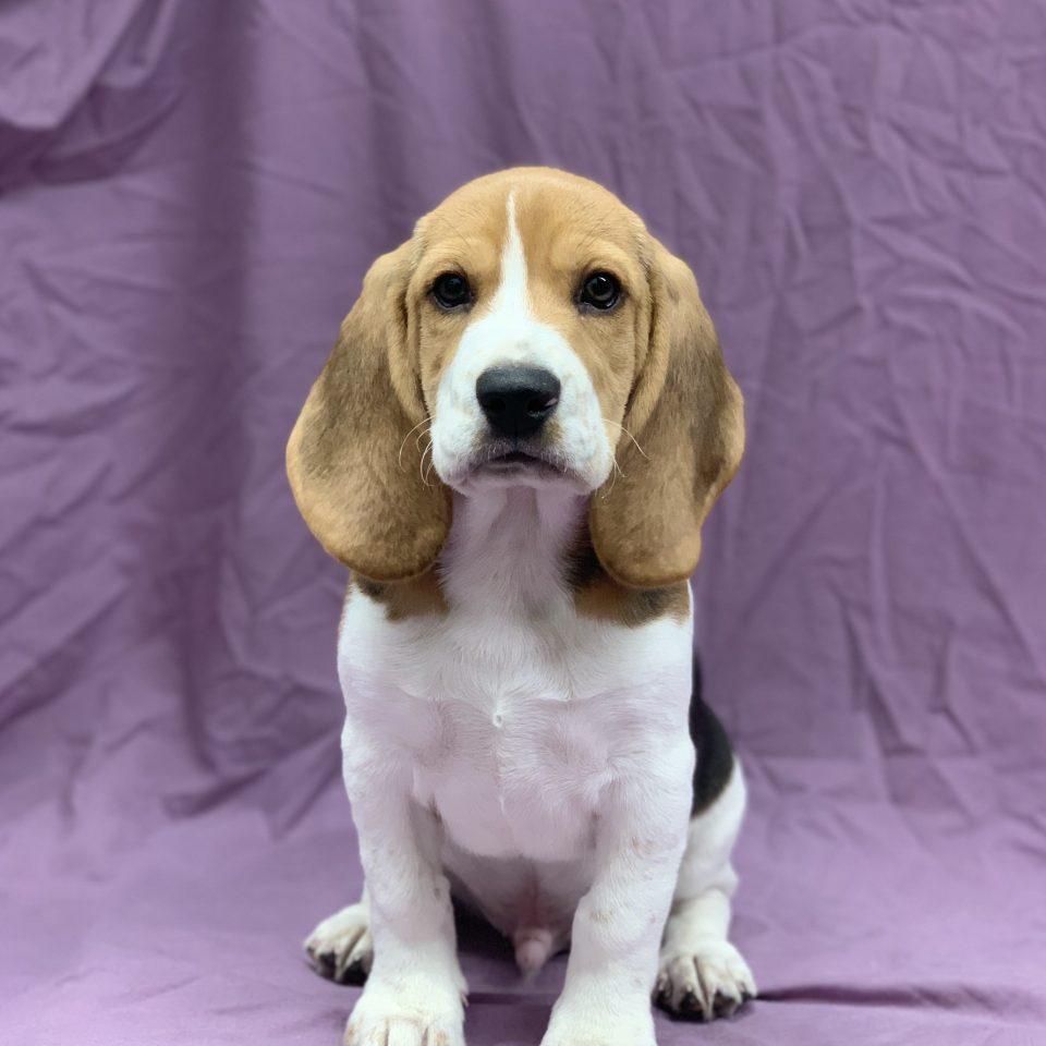 Sancho chiot beagle tricolore mâle à vendre Paris